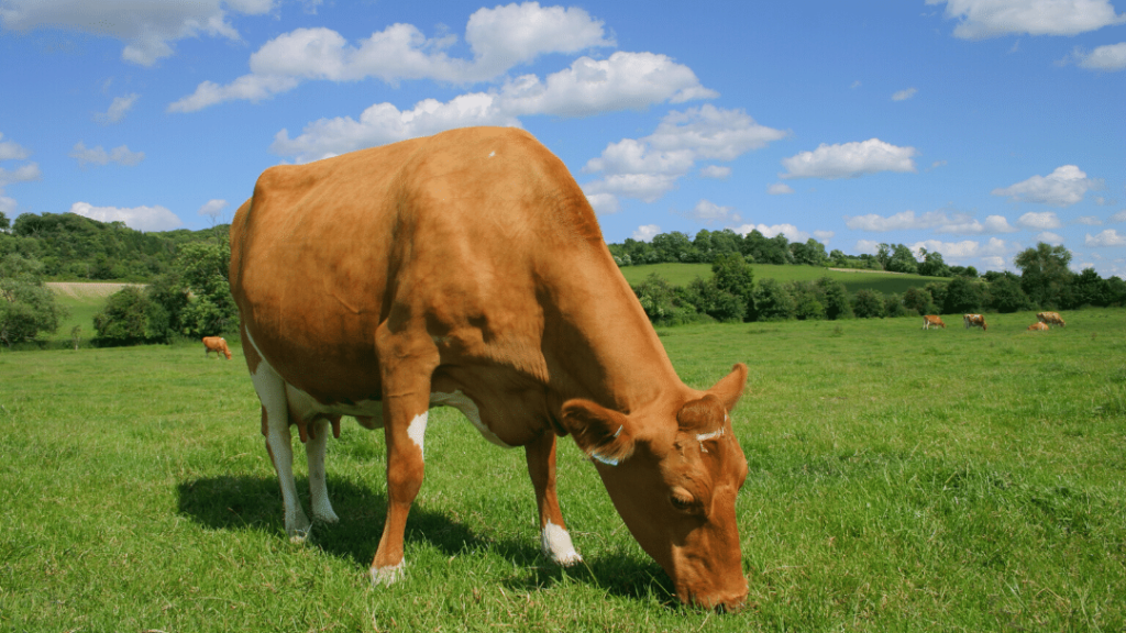 Guernsey milk cows are more likely to carry A2/A2 genetics.